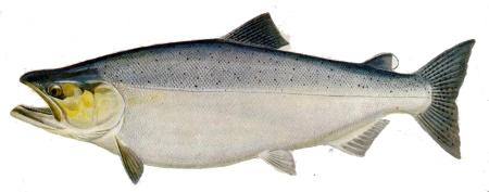 koenigslachs-king-oncorhynchus-tschawytscha