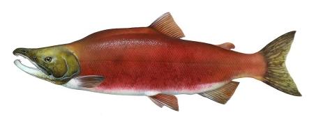 rotlachs-sockeye-oncorhynchus-nerka