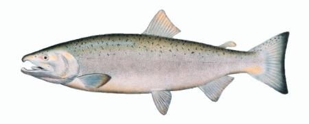 silberlachs-coho-oncorhynchus-kisutch