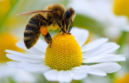 Pestizide machen Bienen orientierungslos