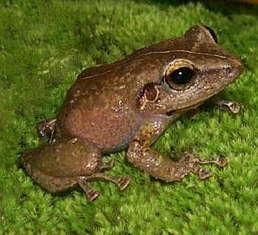 Angeblicher Klimawandel soll Frosch zu höheren Tönen treiben